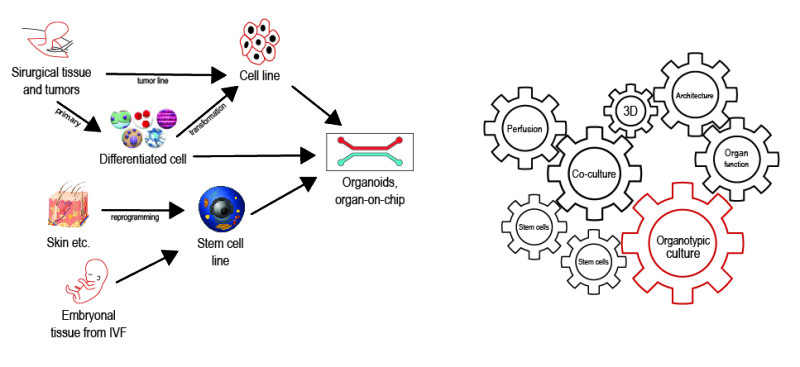 Organotypic culture: from the beginning to  3D cell culture