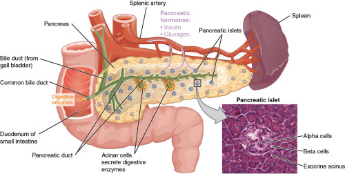 Pancreas on a chip : State of the Art