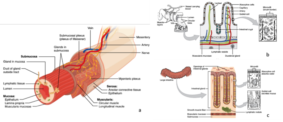 Intestinal Biopsies Beyond Histological Diagnosis: Ex-vivo Culturing and Precision Cut Slices for Precision Pharmacology