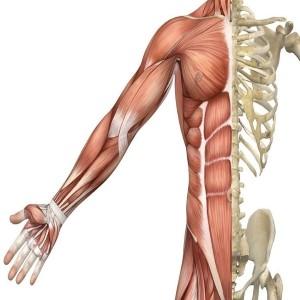 Skeletal Muscle Biopsy Beyond Histological Diagnosis: Ex-vivo Culturing and 3D Bioengineered model