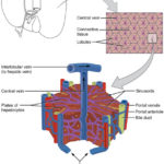 Microscopic_Anatomy_of_Liver-Biotech-Cubix