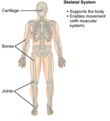 CherryBiotech-system-of-the-body-figure-3-skeletal-system