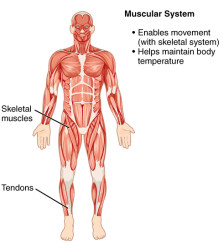CherryBiotech-system-of-the-body-figure-4-muscular-system