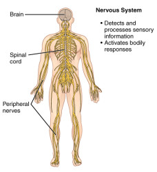 CherryBiotech-system-of-the-body-figure-5-nervous-system