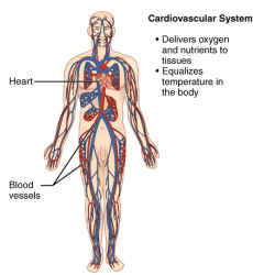 CherryBiotech-system-of-the-body-figure-7-cardiovascular-system