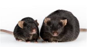 Obese Mice Adiponectin Diabetes