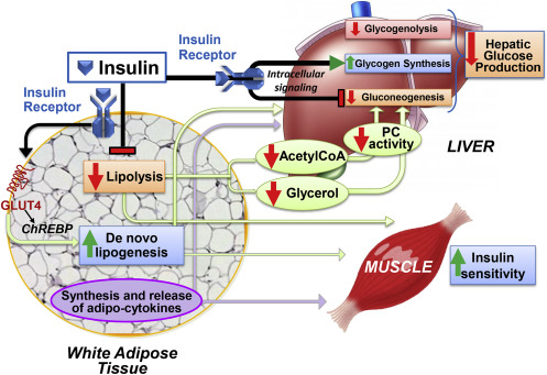 Insulin action in adipocytes, adipose remodeling, and systemic effects (Santoro et al, 2021)
