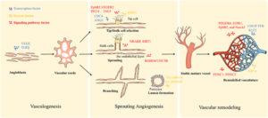 Vascularization-3d-cell-model