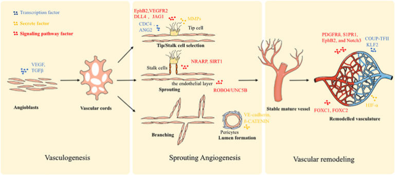 Rebuilding the Vascular Network: In vivo and in vitro Approaches (Meng et al, 2021)