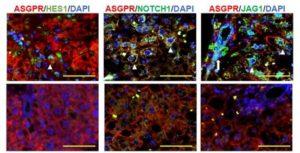 cherry-biotech-ishuda-adipose-tissue-derived-stem-cell