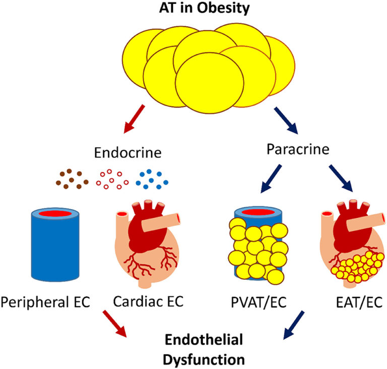 Adipose Tissue-Endothelial Cell Interactions in Obesity-Induced Endothelial Dysfunction