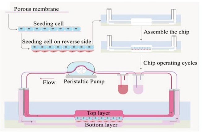 Read more about the article Liver microphysiological platforms for drug metabolism applications