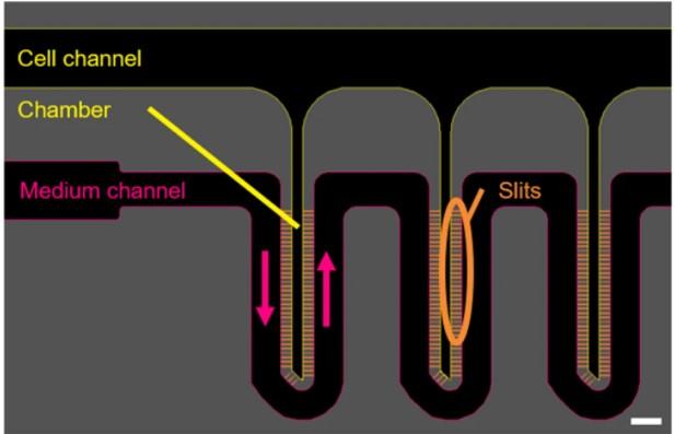 versatile-microfluidic-3D-culture-HepaRG-cells