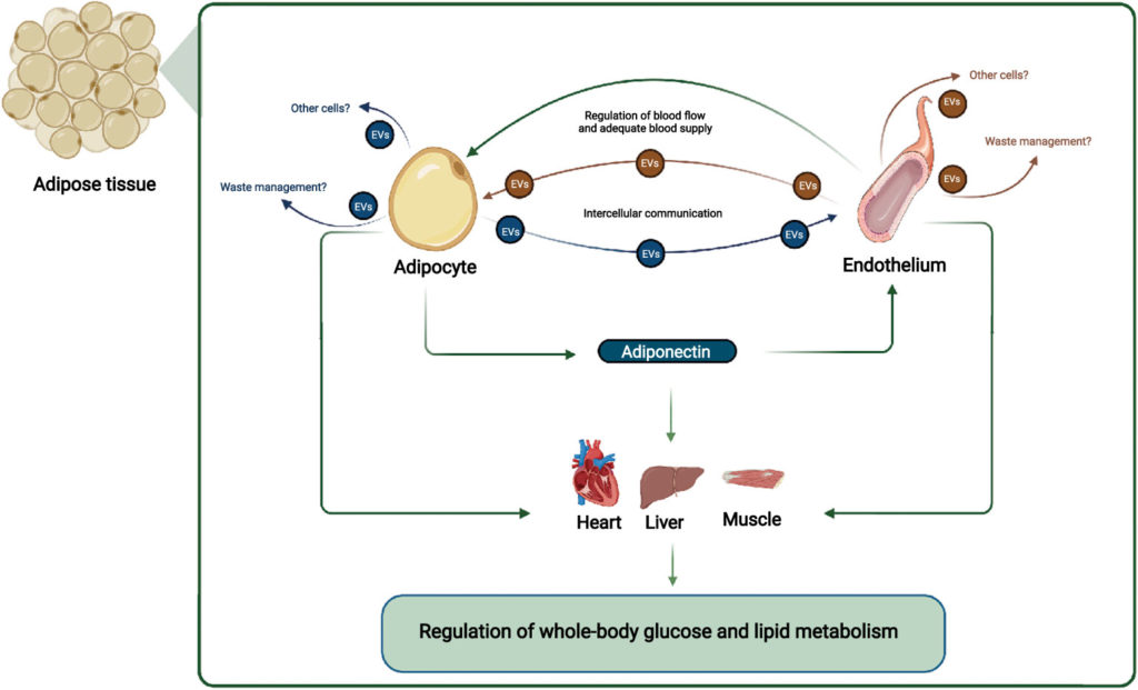 Read more about the article Adipocyte-Endothelium Crosstalk in Obesity