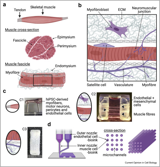 Read more about the article Advanced models of human skeletal muscle differentiation, development and disease: 3D cultures, organoids and beyond