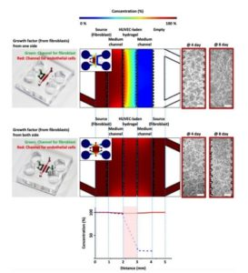 3d-microphysiological-system-vascularized-tissue