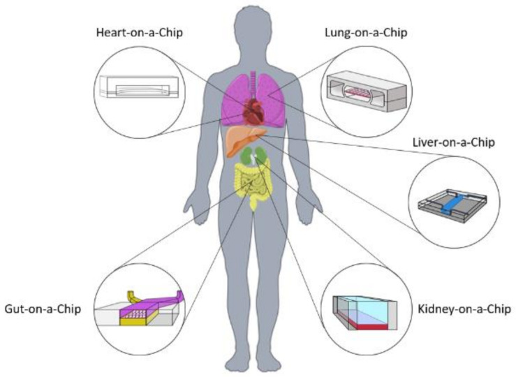 Read more about the article A Review of Biomaterials and Scaffold Fabrication for Organ-on-a-Chip Systems